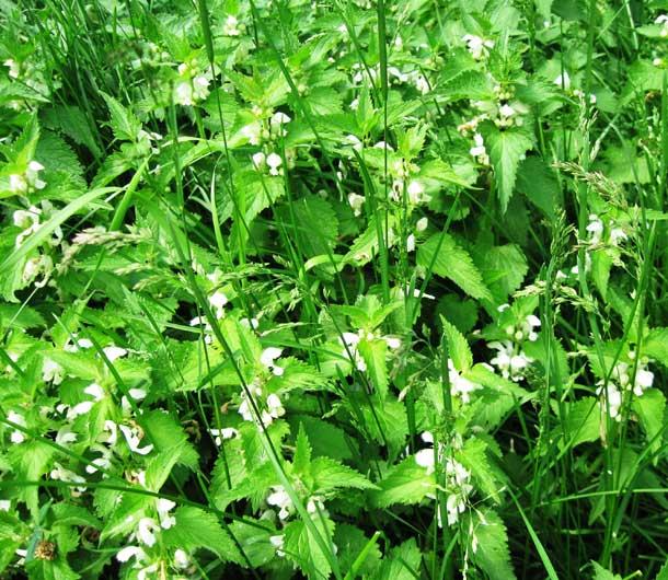 цветок белой яснотки