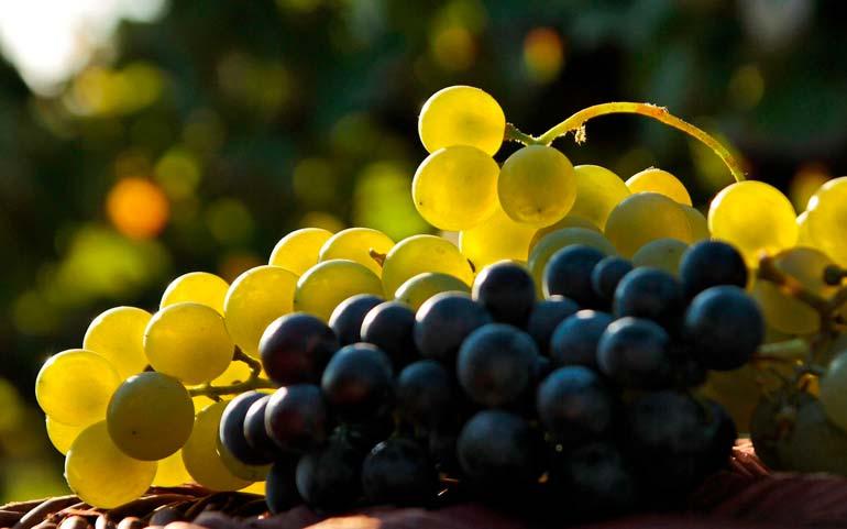 Чёрный и жёлтый виноград