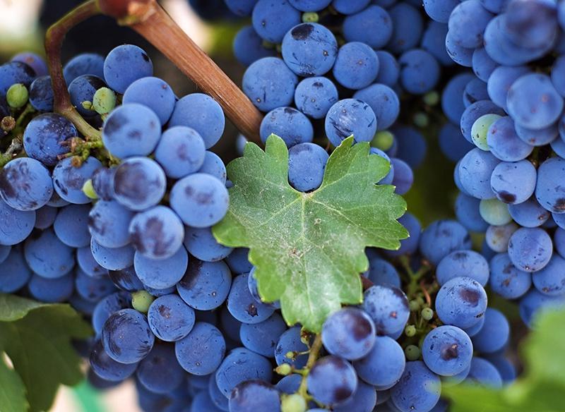 Виноград для вина