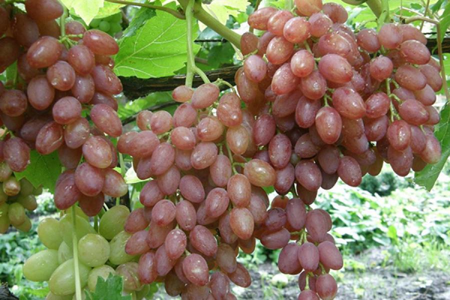 Обычный виноград
