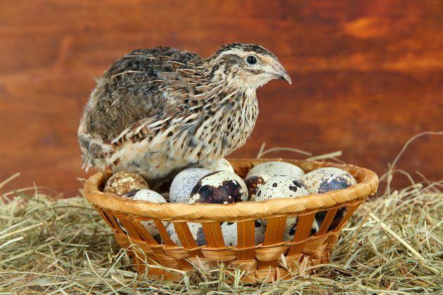 Перепелка с перепелиными яйцами
