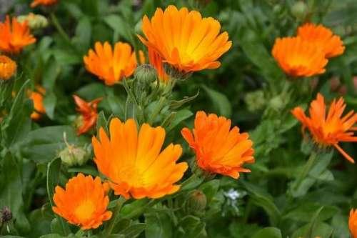 Ярко-оранжевая календула